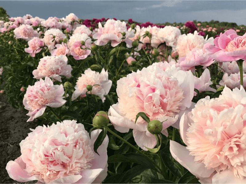 hoa tết, hoa tết 2021, cách chọn hoa tết