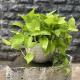 Những cây trồng trong nhà mang lại phong thủy tốt